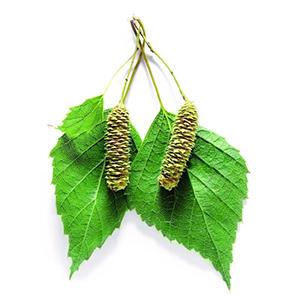 Листья березы лечебные свойства
