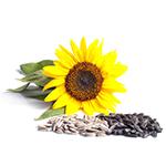 Польза семян подсолнуха